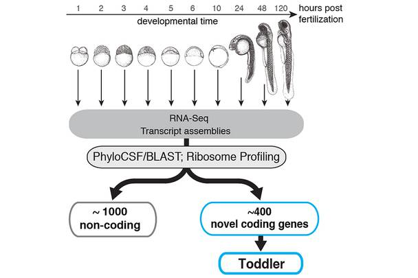Data on identification of novel coding genes in zebrafish