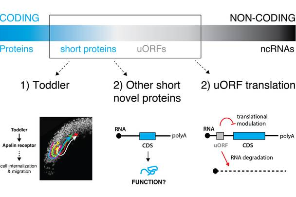 Scheme of functional characterization of short translated ORFs